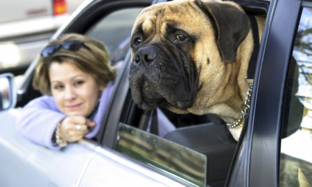 Mastiff in Car Love My Dog More