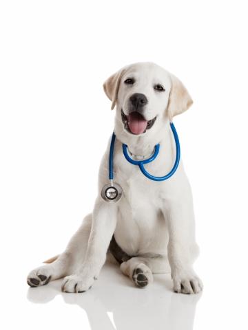 Dr Dog- Beautiful labrador retriever with a stethoscope on his neck